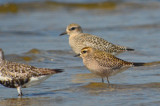 golden and black-bellied plovers sandy point pi