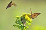 monarch butterflies sandy point plum island