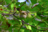 stubby billed red-eye vireo marblehead thicket
