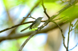 blue-gray gnatcatcher nahant thicket