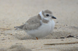 piping plover sandy point plum island