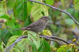 lincoln's sparrow sandy point plum island