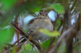 field sparrow sandy point plum island