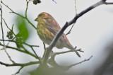 orange morph? Purple Finch hellcat plum island