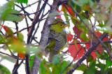 scarlet tanager , female , non-breeding male?plum island