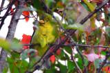 scarlet tanager plum island