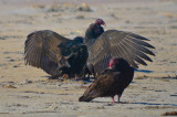 turkey vultures, feathers still on head on one juv sandy point PI