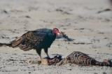 turkey vulture eating dead seal  sandy point PI