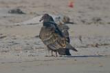 juv turkey vulture,  sandy point PI
