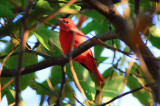 summer tanager salisbury