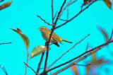 palm warbler sandy point