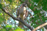 red-tail hawk worlds end
