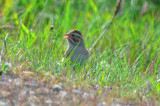 clay-colored sparrow roadside north field