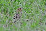 savanah sparrow sp little farm newburyport