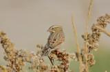 ipswich sparrow sandy point