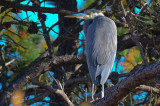 Great Blue in Pines Plum Island