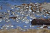 100's shorebird sandy point plum island
