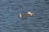 lesser black-backed gull silver lake wilmington