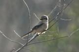 northern shrike cherryhill res