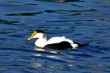 Hudson Bay subspecies?