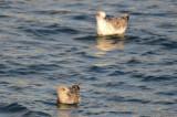 1st yr lesser black back gull jodrey pier in front GBBG in back