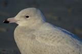 glaucous_gulls