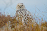 snowy owl sandy point plum island