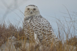 snowy owl sandy point plum island