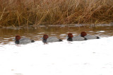 redhead ducks plum island ( the fab four)