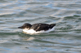 thick-billed murre cripple cove gloucester ma