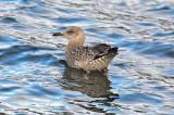 lesser black-backed gull still in juv plumage jodrey pier gloucester ma