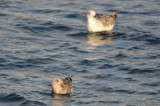 lesser black-backed gull in front great black-backed behind gloucester jodrey pier