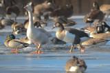 hybrid canada goose ipswich water treatment fac.