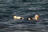 king eider atlantic rd gloucester