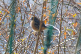 spotted towhee rockport ma eden road