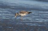 odd_plumage_herring_gull_plum_island