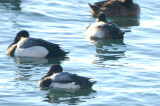 good comp. lesser in front greater scaup in back swampscott ma