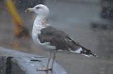 strange_gull_2