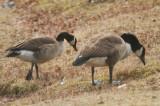 small canada goose flax pond lynn ma