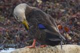 black duck brace cove gloucester
