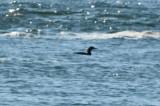 pacific loon deformed bill salisbury