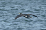 great cormorant white band on tail