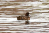 lesser scaup niles pond loucester