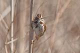 song sparrow little farm newbport