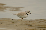 FOY piping plover sandy point plum island