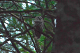 barred owl crane pond wma