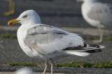 luecistic herring gull same as last yr bird salisbury ( see next)