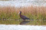white-faced ibis rowley-newbury pans