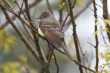 great-crested flycatcher plum island