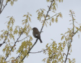 purple finch with white wing bar plum island